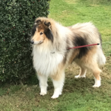 Roly (Rough Collie)