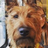 Nelson (Irish Terrier)