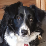 Ruby (Border Collie)