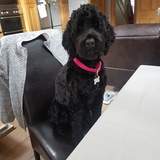 Asia (Portuguese Water Dog)