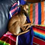Freddie (Italian Greyhound)