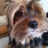 Hugo (Terrier Sedoso Australiano)