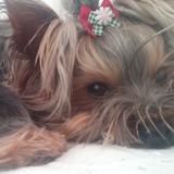 Bolita - Yorkshire Terrier