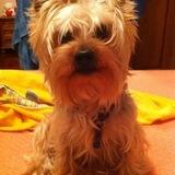 Neo - Yorkshire Terrier