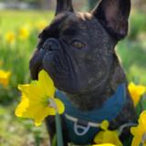 Barthô (French Bulldog)