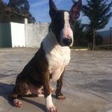 Karim (Bull Terrier)