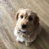 Toby (Cockapoo)