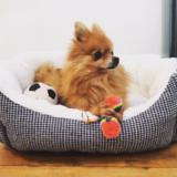 Winnie (Pomeranian)