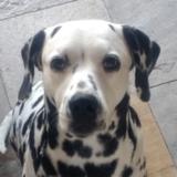 Luna (Dalmatian)