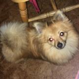 Allie (Pomeranian)