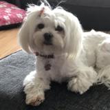 Daisy (Maltese)