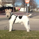 Tano - Fox Terrier