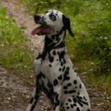Edgar (Dalmatian)