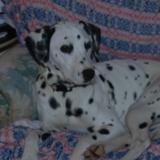 Bella (Dalmatian)