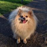 Lucky (Pomeranian)