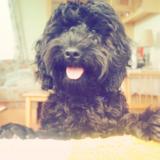 Toto (Cockapoo)