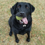 Buster Black (Labrador Retriever)