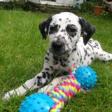 Bo (Dalmatian)