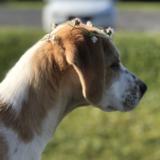 Bella (Beagle)