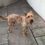 Zeke (Irish Terrier)