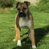Baccara (American Staffordshire Terrier)