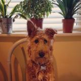 Amber (Irish Terrier)