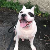 Bowie (American Staffordshire Terrier)