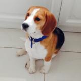 Billy (Beagle)
