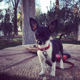 Alvin (Chihuahua)