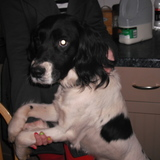 Shadow (English Springer Spaniel)