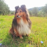 Bella (Sheltie)