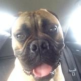 Edgar (Bullmastiff)