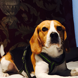 Willie (Beagle)