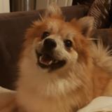 Whitney (Pomeranian)