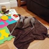 Luca (Italian Greyhound)