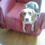 Tara - Beagle