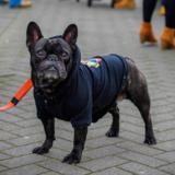Simon (French Bulldog)
