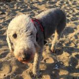 Seamus (Bedlington Terrier)