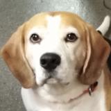Bobby (Beagle)