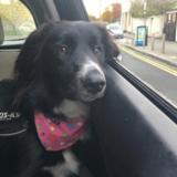 Maggie (Border Collie)