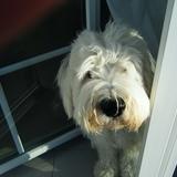 Zoey (Old English Sheepdog)