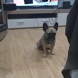 Rocky (Bulldog Francés)