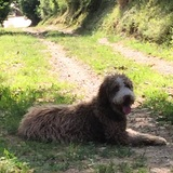 Baco (Perro de Agua Español)