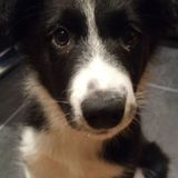 Bruce (Border Collie)