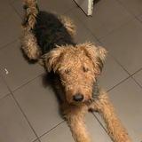 Kira (Airedale Terrier)