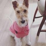 TRUFA  - Fox Terrier
