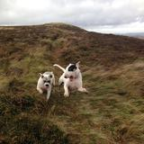 Pebbles & Paddy (Bull Terrier)