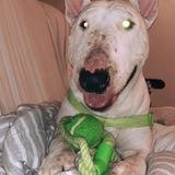 Duque (Bull Terrier)