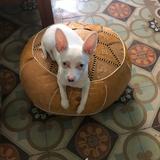 Teacher - Chihuahua