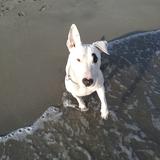Kaos (Bull Terrier)